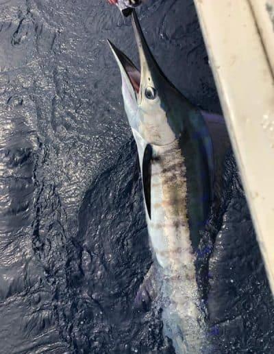 sailfish Triple Time